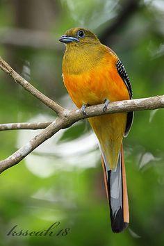 Orange-breasted Trogon(Harpactes oreskios) photographed by ksseah18