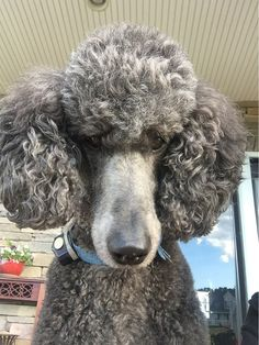 "Blue Standard Poodle - ""Well looks interesting,"" said a sweet little poodle. ""But I think I'll let my owner pal try eating it first and if she likes, then I'll consider eating it too!"""