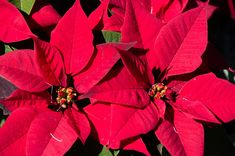 Learn all about Christmas poinsettias and where they grow naturally. Tips on how to care for your poinsettia for long lasting results and beautiful colour. Belle Plante, Christmas Poinsettia, Joko, Varanasi, All Things Christmas, Bing Images, Advent, Tropical, Gardens