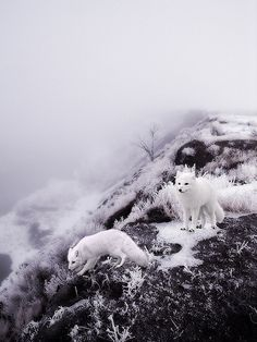White Winter Foxes by valerie chiang, via Flickr - These animals are beautiful!