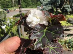 Begonia 'Nonstop White' (Tuberous begonia) Upright plant will flower freely with pure white double and semi-double blooms.  Beautiful in a container and flowers from planting until frost.