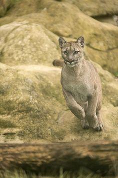http://www.mountainlion.org/ http://www.samofund.org/portfolio/protect-mountain-lions/ http://www.livescience.com/27267-pumas.html