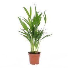 Palma Areca Dawca tlenu 50 cm