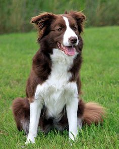my dream dog! brown border collie