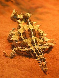 Thorny Devil (Moloch horridus) in Central Australia. | Flickr