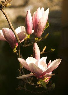 Pink *❀* Magnolia