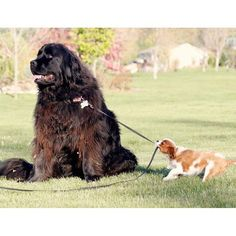 Little dog with big dreams! Two of my favourite dogs, a Newfoundlander, and a Cavalier King Charles Spaniel!