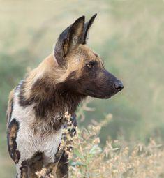 Wild Dog portrait | Flickr - Photo Sharing!