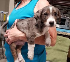 KARL is an adoptable pembroke welsh corgi searching for a forever family near Phoenix, AZ. Use Petfinder to find adoptable pets in your area. Corgi Dachshund, Dachshund Adoption, Pembroke Welsh Corgi, Phoenix, Searching, Pets, Search, Animals And Pets