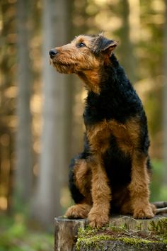 Airedale Terrier.Eine im 19.Jahrhundert in Großbritannien entstandene Rasse,die zur Dachs-&Otterjagd verwendet wurde&heute als Begleithund dient.
