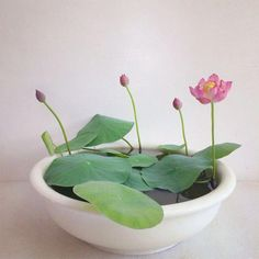 Micro Lotus Micro Lotus are a new variety of mini lotus from China. Micro lotus are best grown in 15 cm pots with ample light and ventilation. Micro lotus are easily grown on a patio or balcony.Spark lotus is a micro lotus with a larger, single pink flowe Indoor Water Garden, Garden Plants, Indoor Plants, Water Gardens, Indoor Flowers, Potager Garden, Bamboo Garden, Veg Garden, Mini Plants