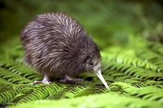 The Kiwi is a weird and wonderful creature, and all in all a conundrum in itself.  Kiwi are flightless, lacking wings or a tail, and belong to an ancient group of birds that can't fly- the ratites.  It's a mystery how they arrived in New Zeleand.  Their physical characteristics and habits are much more akin to a mammal than a bird.  Their feathers are hair-like, they have nostrils at the end of their beaks, they lay giant eggs (the Kiwi egg takes up roughly 20% of the mother's body weight!