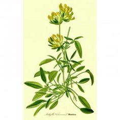 Anthyllis vulneraria - Echter Wundklee (Saatgut)