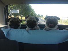 """bobdoom:  agatkami:  Leon, Mika, Ami  """"Where we headin'?!""""""""Dog park?!""""""""Hamburgers?!"""""""