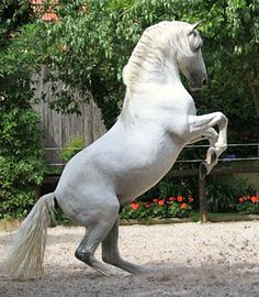 Kicked in the Head: The Equestrian Helmet Beautiful Horse Pictures, Beautiful Horses, Horses And Dogs, Animals And Pets, Lippizaner, Lipizzan, Spanish Riding School, Friesian, Appaloosa