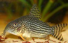 Corydoras Sterbai #fish #aquarium