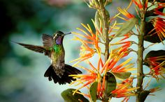 humming birds wallpapers and backgrounds | HD Hummingbird Wallpaper
