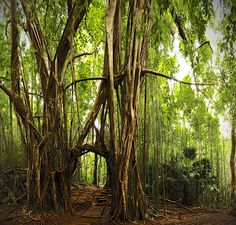 Banyan Tree Tunnel on the Manoa Falls Trail, HI    Who doesn't love hiking through a tree tunnel? See this trail at alltrails.com/trail/us/hawaii/manoa-falls-trail  Photo: Lux Tonnerre