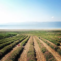 up with the sun #roseharvest #turkiye #turkey #rose #damascena #storiesandobjects
