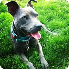 HI MY NAME IS PORTIA I'M A SPECIAL NEEDS DOG, HER BACK KNEES DON'T BEND DUE TO A BIRTH DEFECT, BUT SHE IS STILL THE SWEETEST GIRL. I'M SPAYED, SHOTS UP TO DATE, GOOD WITH DOGS AND CATS. *HAS VIDEO* 1 YEAR OLD. VERONA,NEW JERSEY CLAUDIA@FRIENDSWITHFOURPAWS.ORG