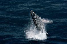 YannArthusBertrand2.org   Baleine à bosse dans le Golfe de Guinée, au large de Port-Gentil, province de l'Ogooué-Maritime, Gabon (0°31' S - 8°52' E).