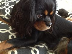 Coco, Black and Tan Cavalier King Charles Spaniel