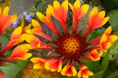 Gaillardia Aristata, Arizona Sun from Gamble Garden