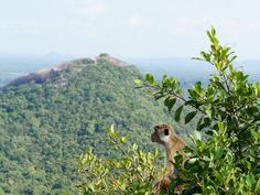 Sri Lanka is home to at least 5 species of monkeys. This one sits in a tree at the top of the ancient Sigiriya rock surveying amazing 360-degree views.