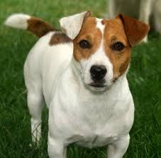 jack russell terrier - Buscar con Google