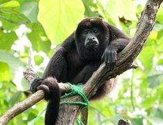 SIBU is dedicated to rescuing, rehabilitating, releasing and protecting Costa Rica's native wildlife including Howler Monkeys. Sibu, Nosara, Costa Rica Travel, South America Travel, Primates, Central America, Wildlife, Congo, Travel Things