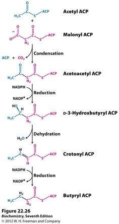 fatty acid synthesis - - Yahoo Search Results