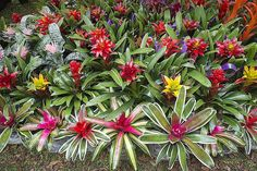 Bromeliads are satisfying plants to grow at home. Learn how to propagate your bromeliads from offsets (pups) produced by the mother plant. Indoor Flowering Plants, Garden Plants, Pool Plants, Exotic Plants, Tropical Plants, Tropical Garden Design, Succulent Landscaping, Landscaping Plants, Mother Plant