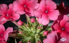 Purpur - Kleine wunderschöne purpurfarbene Blumen. Little beautiful purple flowers.