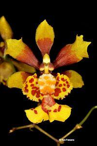 Oncidium Obryzatum | Oncidium orchid species