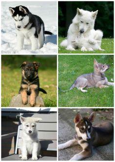 Siberian husky ; Swiss white shepherd ; German Shepherd ; Czechoslovak dog ; Tamaskan dog ; Northern Inuit Dog