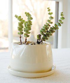 pissenlit: plantes