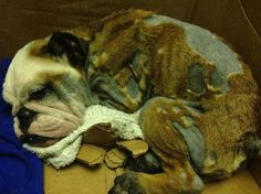 English bulldog puppy found lying in middle of South Florida road recovering-slide2