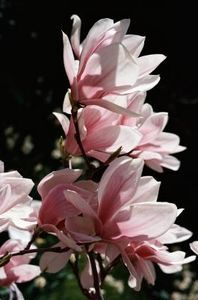 How to Grow a Star Magnolia From Clippings thumbnail