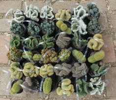 """3 Crested Cactus For Sale in their 3.5"""" round  containers All are labled with names Euphorbia euphorbias succulents succulent by SANPEDROCACTUS on Etsy #funkycactus"""