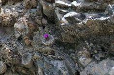 Blossfeldia sp