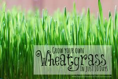 Grow your own Wheatgrass in just 10 days (no soil method!) Super easy!