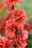 471172 - Japanese quince (Chaenomeles japonica)