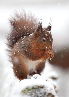 eekhoorn-winter.