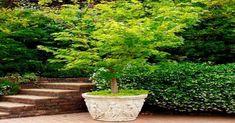 Cómo plantar árboles preciosos en macetas o jardineras