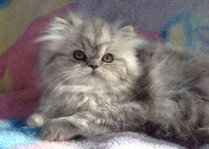 Persian Kitten <3