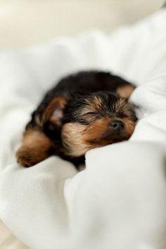 Yorkie | Best Little Dogs | Cute | Love | Spunky | Loyal | Yorkshire Terrier| Puppy | So sweet | Cute Animals