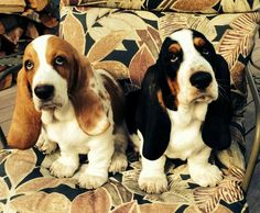"""""""Isn't a flat screen amazing?"""" #dogs #pets #BassetHounds #puppies facebook.com/sodoggonefunny"""