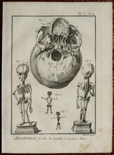 1779. Pl. 1 n°2. Anatomie, La Tete du Squelette et quelques Foetus. Encyclopédie ou Dictionnaire raisonné des sciences, des arts et des métiers. Denis Diderot and Jean le Rond d'Alembert.