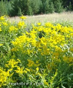 Goldenrod for natural health Golden rod harvesting and useage info Wild Flower Meadow, Wild Flowers, Natural Herbs, Natural Health, Herbs For Sleep, Herbs List, Wild Edibles, Dark Places, Growing Herbs