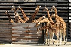 Giraffes at the new Zoo in Paris, 2014. Parc Zoologique.